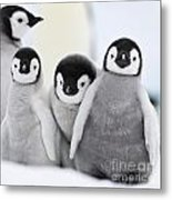 Emperor Penguin Chicks Metal Print