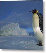 Emperor Penguins At Midnight Antarctica Metal Print