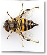 Eristalinus Taeniops Hoverfly Isolated Oin White Background Metal Print