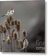 European Goldfinch Metal Print