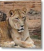 Female African Lion Metal Print