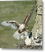 Ferruginous Hawk And Chicks Metal Print