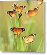 Flock Of Plain Tiger Danaus Chrysippus Metal Print by Alon Meir