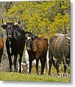 Florida Spanish Cattle Metal Print