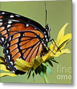 Florida Viceroy Metal Print