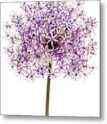 Flowering Onion Metal Print