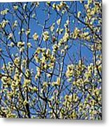 Fluffy Catkins At At Tree Against Blue Sky Metal Print