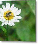 Fly On Daisy 3 Metal Print