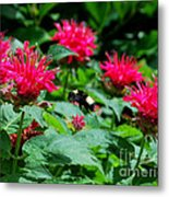 Flying Bee With Bee Balm Flowers Metal Print