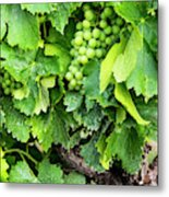 France, Provence, French Vineyard Metal Print