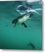 Galapagos Penguin (spheniscus Mendiculus Metal Print