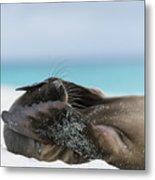 Galapagos Sea Lion Pup Covering Face Metal Print