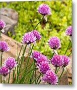 Garlic Chives Flowers Metal Print