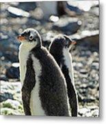 Gentoo Penguins Pygoscelis Papua Metal Print