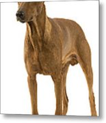 German Or Standard Pinscher Metal Print