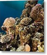 Giant Clam And Tropical Reef In The Red Sea. Metal Print