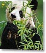 Giant Panda Ailuropoda Melanoleuca Metal Print