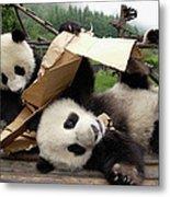 Giant Panda Ailuropoda Melanoleuca Pair Metal Print