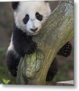 Giant Panda Cub In Tree Metal Print