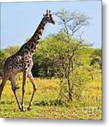 Giraffe On Savanna. Safari In Serengeti Metal Print