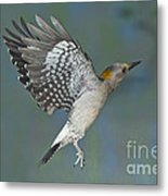 Golden-fronted Woodpecker Metal Print