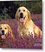 Golden Retriever Dogs In Heather Metal Print