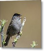 Goldencrowned Sparrow Metal Print