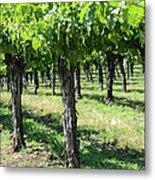 Grape Vines In A Row Metal Print