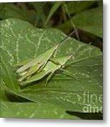 Grasshopper Mating On Grass Leaf Metal Print