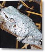 Gray Treefrog Metal Print