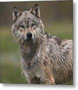 Gray Wolf  North America Metal Print