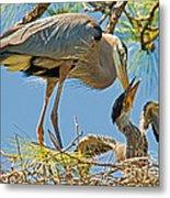 Great Blue Heron Adult Feeding Nestling Metal Print