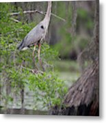 Great Blue Heron (ardea Herodias Metal Print