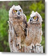 Great Horned Owlets Metal Print