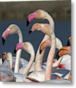 Greater Flamingos, France Metal Print