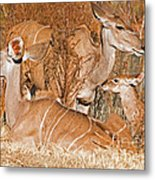 Greater Kudu Mother And Baby Metal Print
