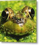 Green Frog Hiding In Duckweed Metal Print