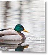 Green-headed Duck Metal Print