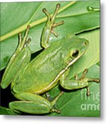 Green Tree Frog Metal Print