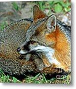Grey Fox Metal Print