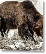 Grizzly Bear Snaggletooth Metal Print