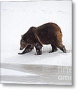 Grizzly Bear Walking In Snow Metal Print
