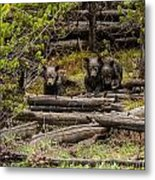 Grizzly Triplets After Rain Metal Print
