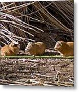 Guinea Pig Livestock At Lake Titicaca Peru Metal Print