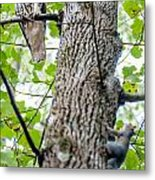 Hawk Hunting For A Squirrel On An Oak Tree Metal Print