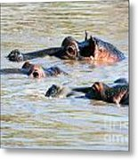 Hippopotamus Group In River. Serengeti. Tanzania Metal Print