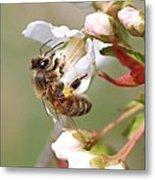 Honeybee On Cherry Blossom Metal Print