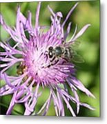 Honeybee On Ironweed Metal Print