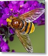 Hornet Mimic Hoverfly Metal Print by Science Photo Library