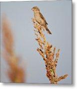 House Sparrow (passer Domesticus Metal Print